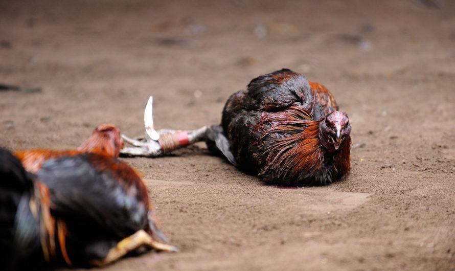 Main Sabung Ayam Online Di Internet
