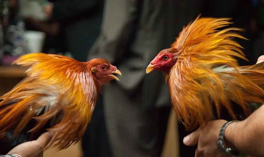 Cara Memainkan Sabung Ayam Online