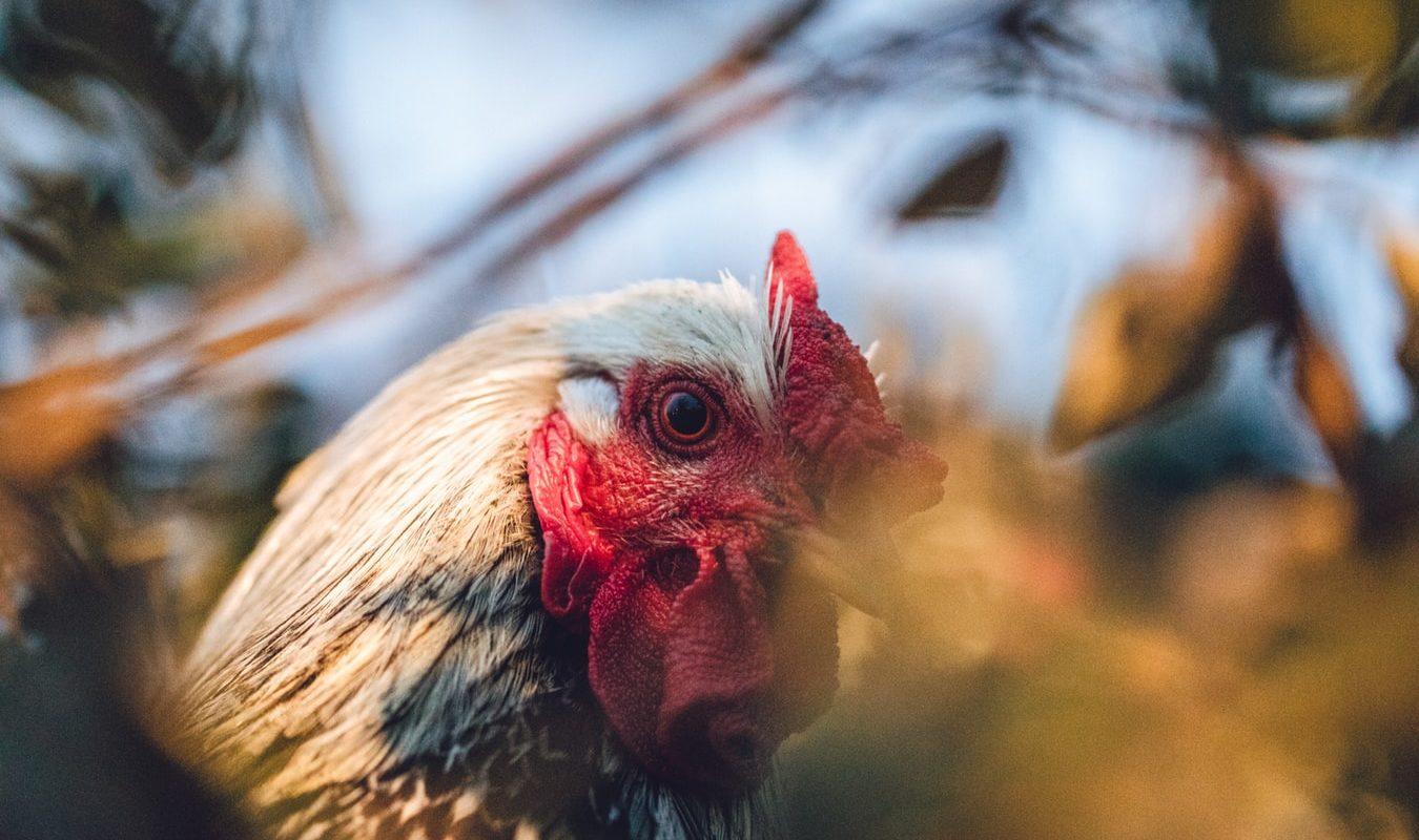 Aplikasi Judi Sabung Ayam Online