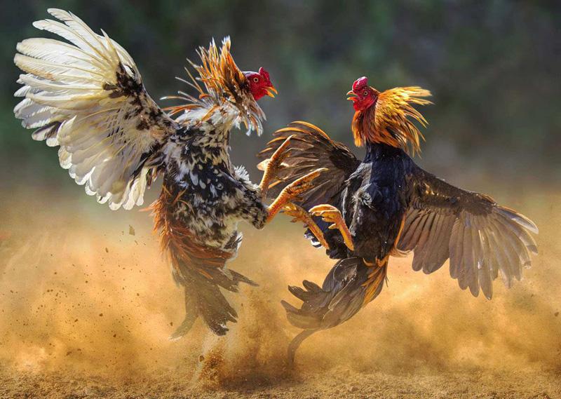 Sabung Ayam S128 Online